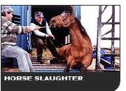 Horse Slaughter